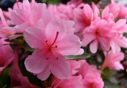 绽放的粉色杜鹃花