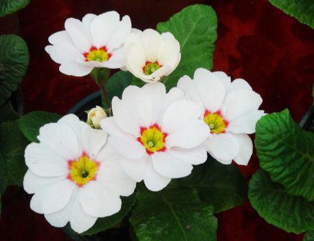 白色的报春花