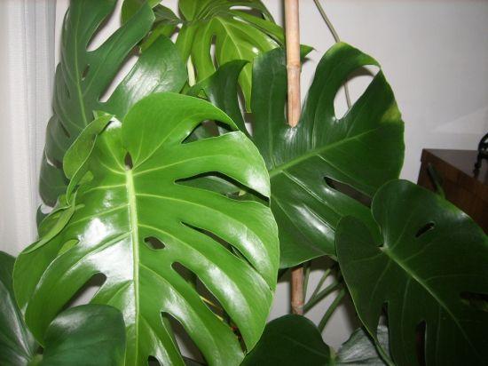 健康的龟背竹叶子