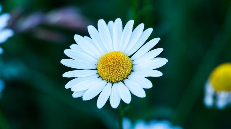 雏菊的花语:天真清纯、永远快乐、暗恋、坚强、希望与和平