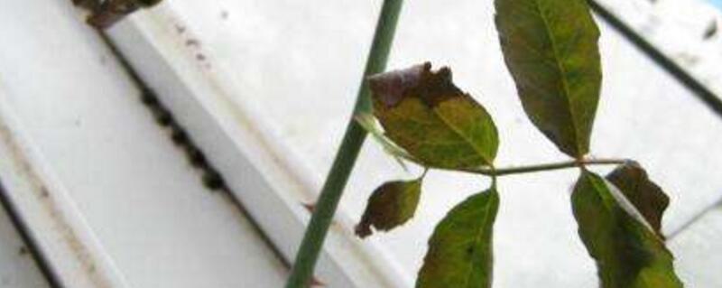 玫瑰叶子黄了怎么办?五种方法处理