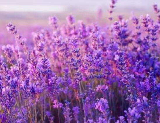 薰衣草代表什么意思?纯洁的象征/等待没有希望的爱情