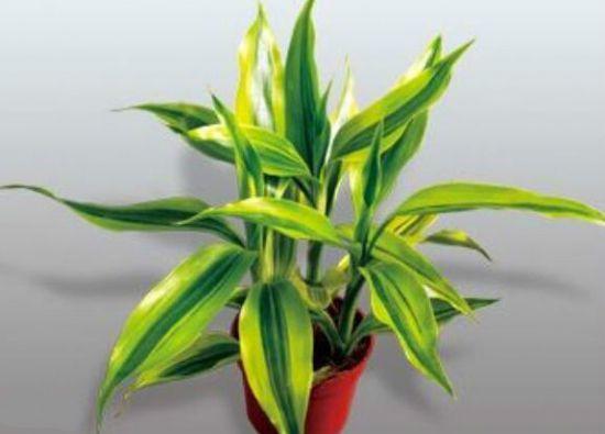 富贵竹用什么土养好?可用腐叶土与菜园土混合