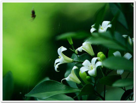 七里香(千里香)的种植方法(全解)