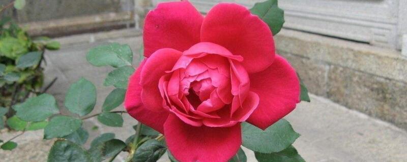 秋季怎样种植玫瑰花?