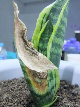 虎皮兰叶子变软的病因和解决办法
