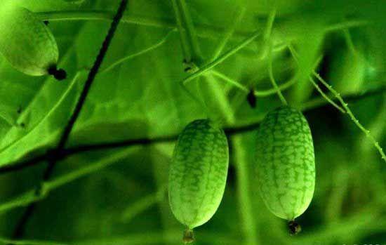 世界最小的西瓜是长这样的