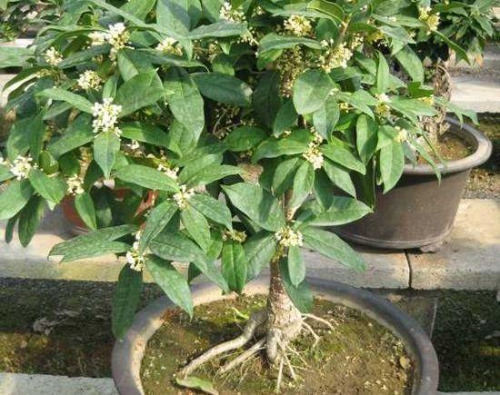 桂花树 盆栽