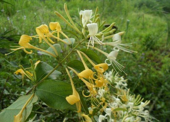 绽放的金银花