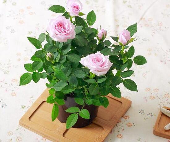 盆栽玫瑰枯萎了怎么办?枯萎的玫瑰花怎么处理(煮粥/泡澡)