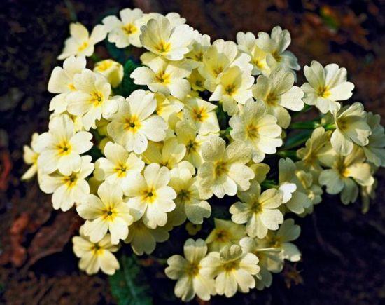樱草花的种植方法