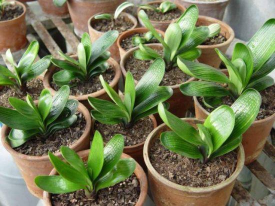常见植物分株繁殖方法
