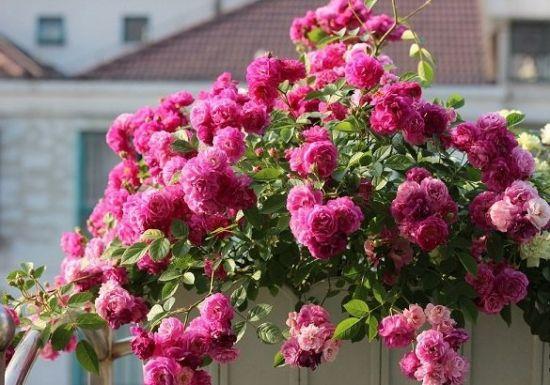 绽放的小月季花