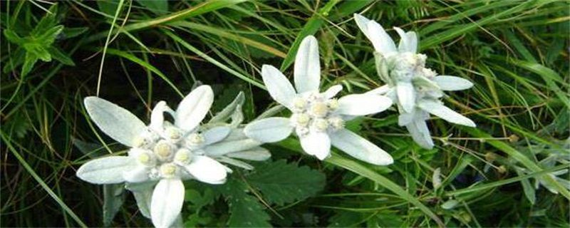 雪绒花的养殖方法和注意事项
