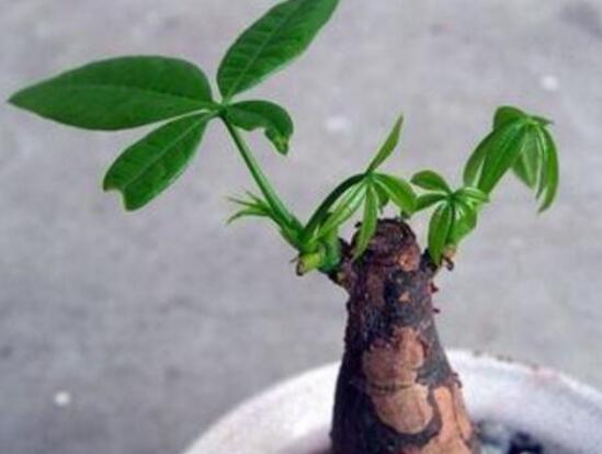 发财树树桩怎么催芽?发财树树桩四个催芽步骤
