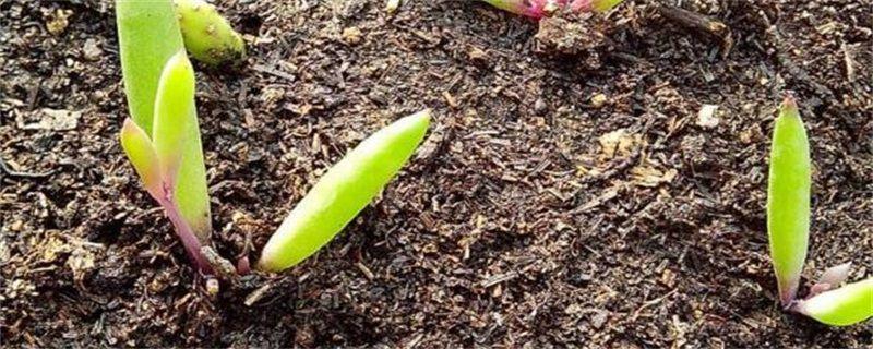 多肉发芽后怎么移栽?发芽多肉植物移栽注意事