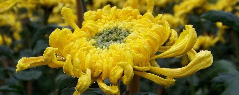 秋菊和冬菊有什么区别