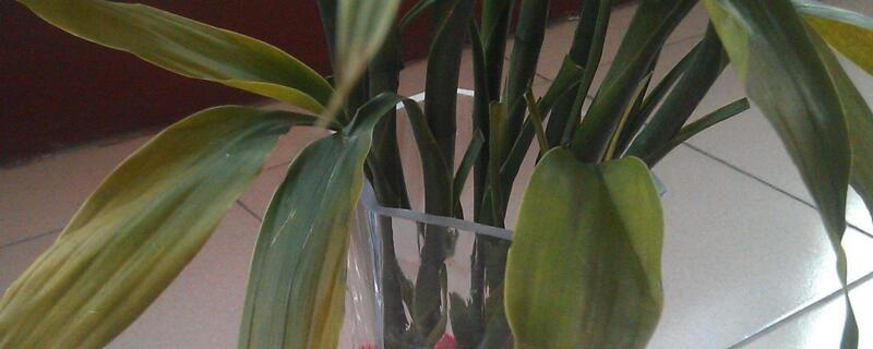 富贵竹叶子下垂怎么办