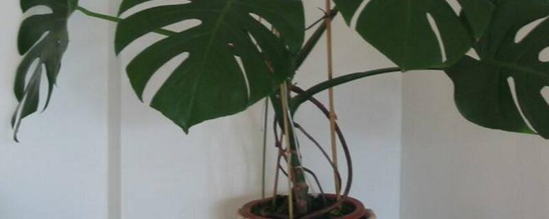 <b>水培龟背竹的养殖方法和注意事项</b>