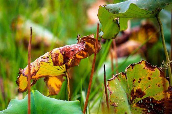 盆栽荷叶枯焦的原因图片