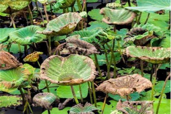 盆栽荷花干叶的原因图片