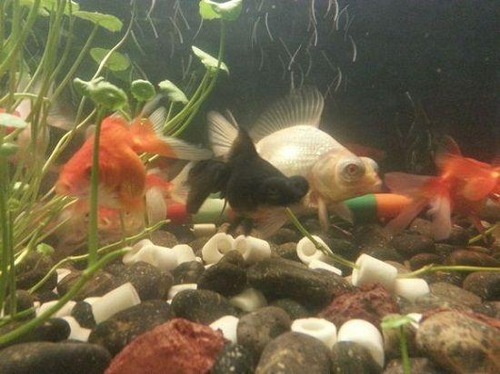 铜钱草和鱼混养(其一)