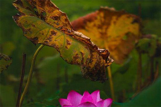 盆栽荷花叶子发黑枯萎图片