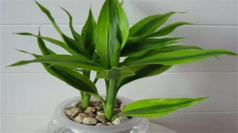 水培富贵竹怎么养?水培富贵竹的方法和步骤