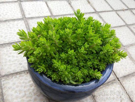 垂盆草的种植方法