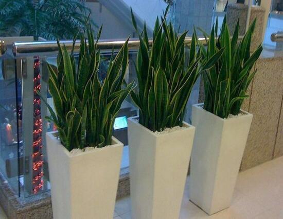 虎皮兰用什么土种植最好,虎皮兰的养殖方法(砂
