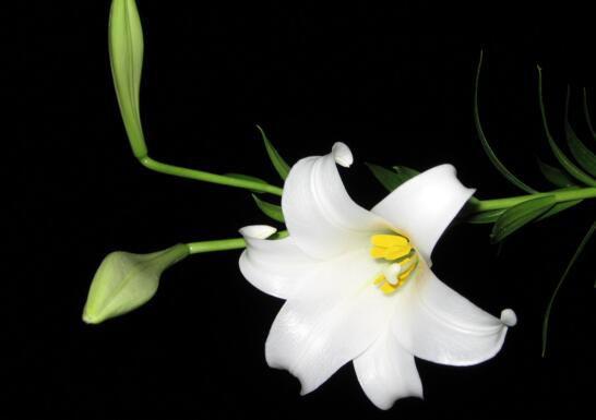 百合花语是什么,送百合花代表什么意思