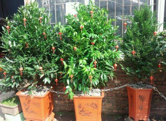 竹柏的价格:竹柏盆栽从10~30元/盆不等