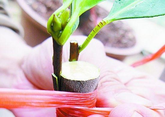切接法繁殖茶花
