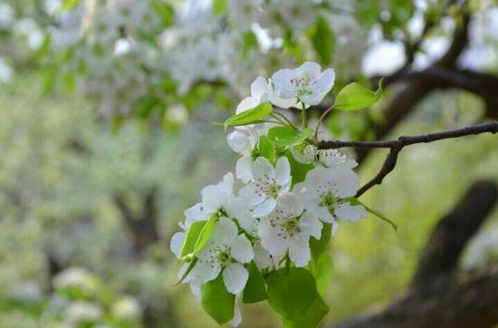 花期中的梨花