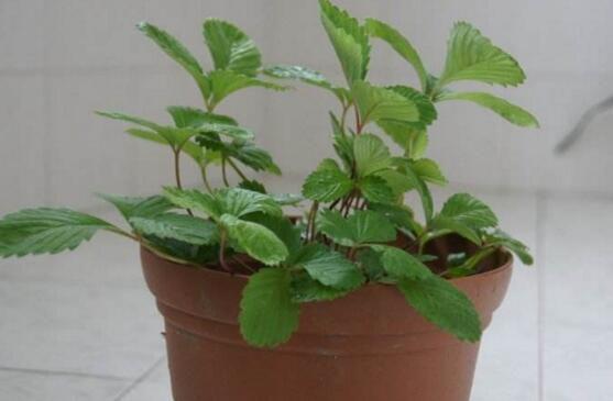盆栽草莓为什么不开花?让草莓开花的六个技巧