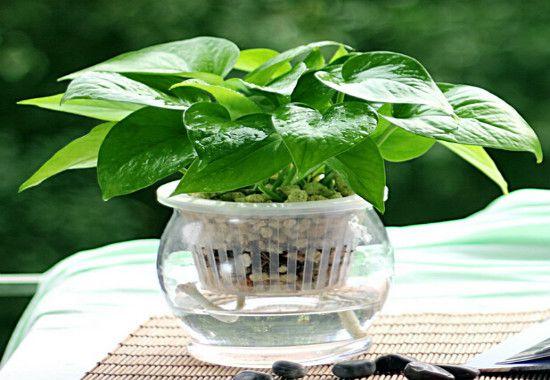 一根绿萝如何变成一盆?一根绿萝变成一盆只需四个步骤