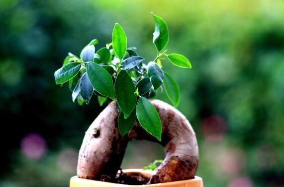 人参榕怎么让根长大,让人参榕根系粗壮的四个