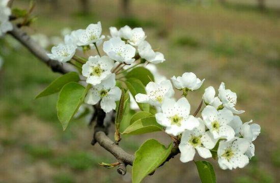 美丽的白梨花