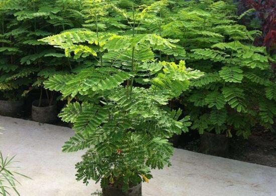 金凤花盆栽怎么养护?五个技巧让金凤花花开满