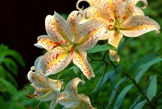 百合花的种植方法与注意事项
