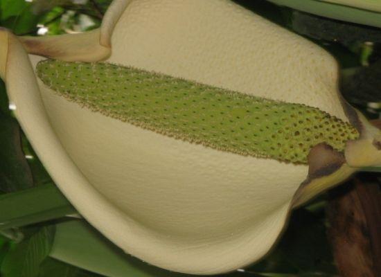 龟背竹的花果图片
