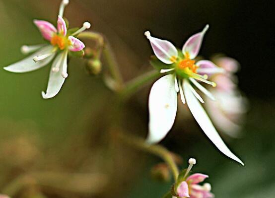 虎耳草的花语及传说:持续/真切的爱情