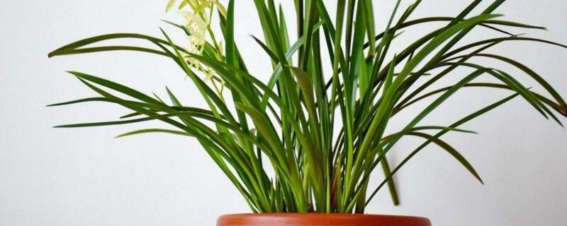 兰花怎么养最好?兰花养殖方法和修枝整形