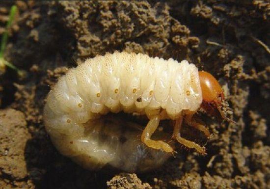 怎样防治土壤里的害虫