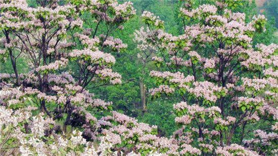 楸樹和梓樹的區別