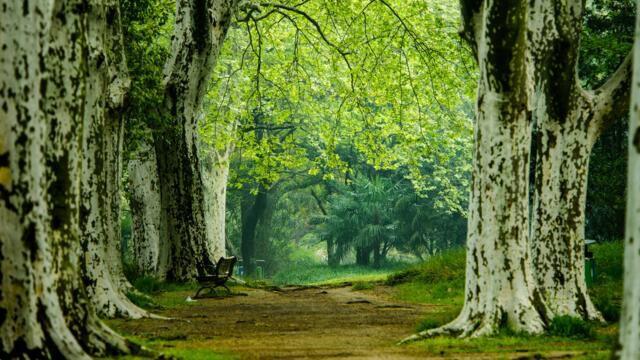 梧桐树的寓意和象征意义
