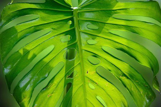 龟背竹叶子图片