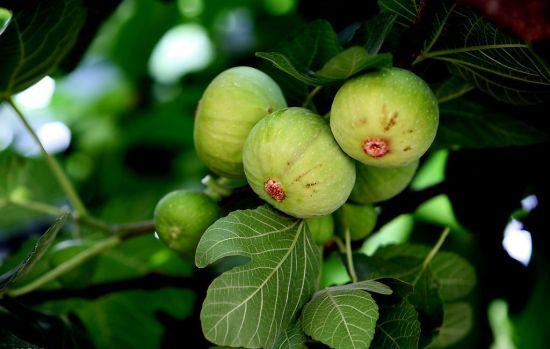 盆栽无花果应怎样科学养护
