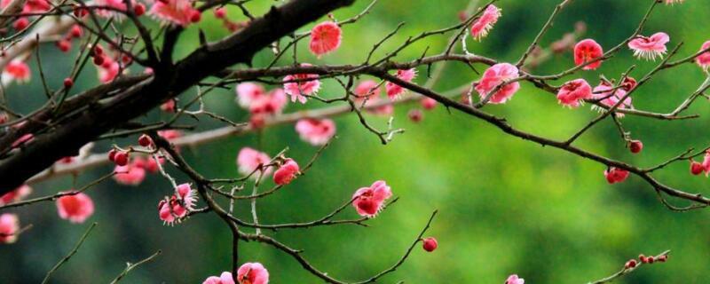 梅花有什么颜色?盘点常见梅花颜色图片