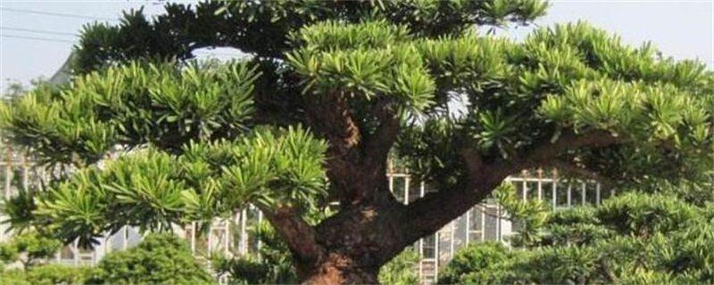 松树品种有哪些?十大松树图片和种类名称